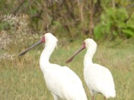 Comical birds! (African Spoonbills)