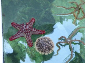 Sea Star, a Sea Urchin (We thought Sea Porcupine might be a better name!) and a Brittlestar