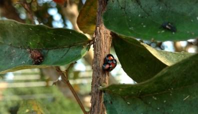 Chilocorus cacti