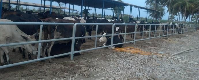 a_cattle_farm