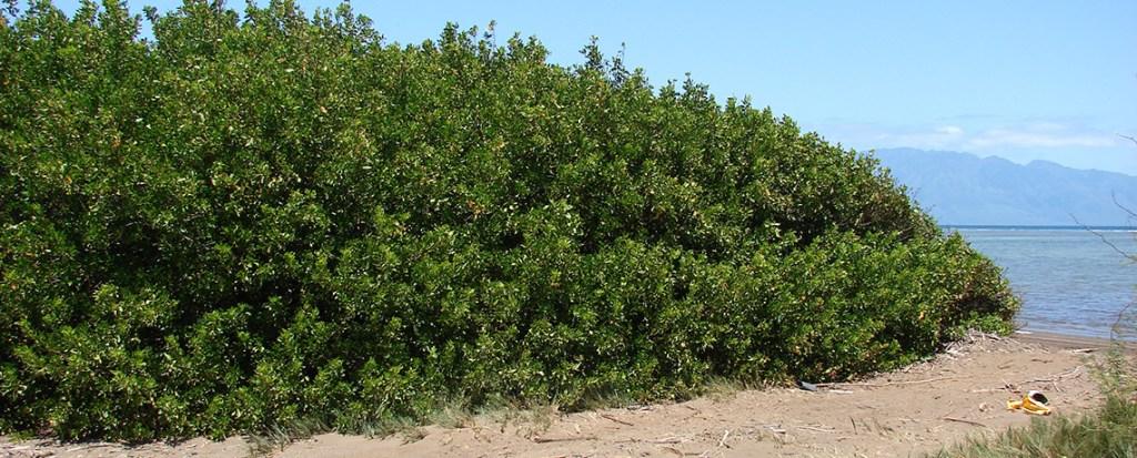 Mass Plantation of Conocarpus Could Bring Disaster To Pakistan