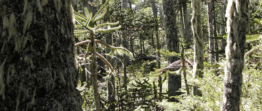 About our new Chile Blog: Campaign to STOP GE Trees To Document Impacts of Tree Plantations in Chile