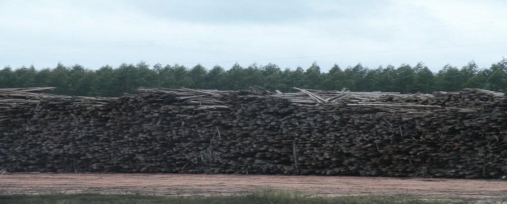Brazil Photo Essay: Eucalyptus plantation – from clones to pulp mill