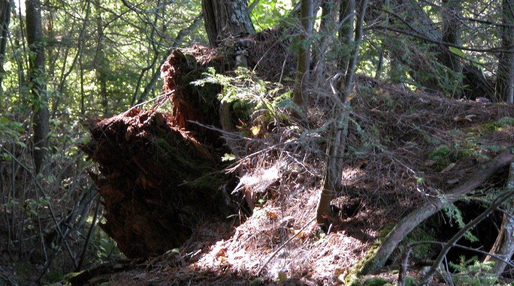 NEW: Risks of GE American Chestnut in Independent Science News