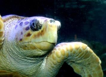 Sea Turtle Too