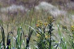Butterfly on Goldenrod-Rachel Carson Refuge