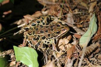 Camo Frog-Ipswich Audubon