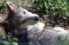 Mexican Grey Wolf 1
