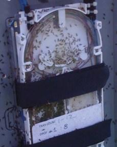 Odorous House Ants in splice tray (Image: Rainbow Tech)