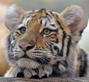 Big cats - Tigers Beautiful 07