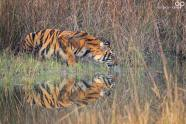 Big cats - Tigers Beautiful 10