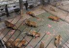 Big cats - Tigers farmed in China 02