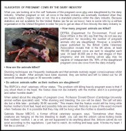 Factory farming - dairy calves aborted