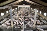 Factory farming - pigs crowded in pens many