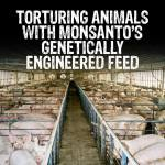 Factory farming - pigs fed gmos