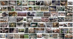 Factory farming - pigs search result 04