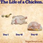 Factory farming - poultry chicken life of day 1 to 43