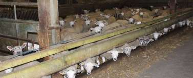 Factory farming - sheep