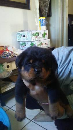 Rottweiler Puppies For Sale - AKC PuppyFinder