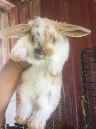Baby Mini Lop Bunnies For Sale Near Me : bunnies, Bunnies, (Berea), Garden, Items, Lexington,, Shoppok