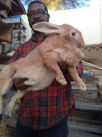 Flemish Giant Rabbit For Sale California : flemish, giant, rabbit, california, Flemish, Giants, (Murrieta), Garden, Items, Santa, Barbara,, Shoppok
