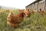 poules_plein_air