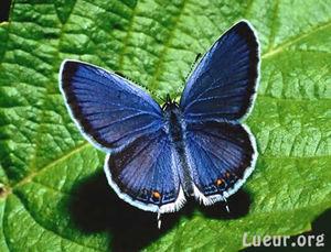 papillon003