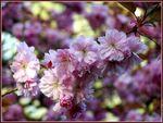 galerie_membre_fleur_cerisier_cerisier_du_japon_08_4bp_cpf_93