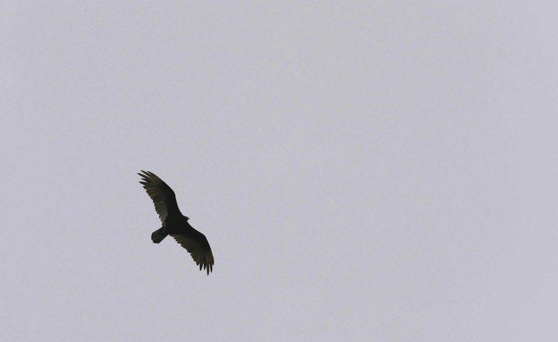 black vultures are roosting