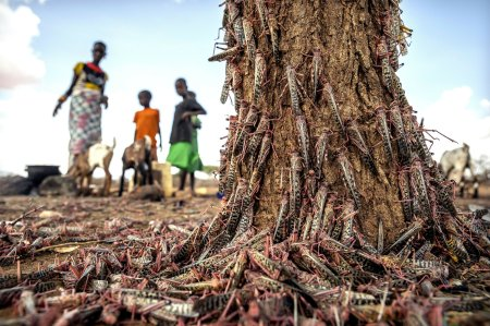 New Wave of Desert Locusts Threatens Millions in Africa and Middle East With Food Insecurity