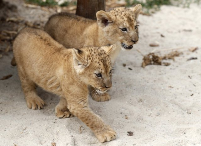 Two Barbary lion cubs walk in their enclosure at the zoo in Dvur Kralove, Czech Republic, Monday, July 8, 2019. Two Barbary lion cubs have been born in a Czech zoo, a welcome addition to a small surviving population of a rare majestic lion subspecies that has been extinct in the wild. A male and a female that have yet to be named were born on May 10 in the Dvur Kralove safari park. (AP Photo/Petr David Josek)