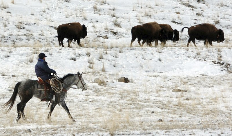 Documents Detail Push To Manage Yellowstone Bison as Cattle