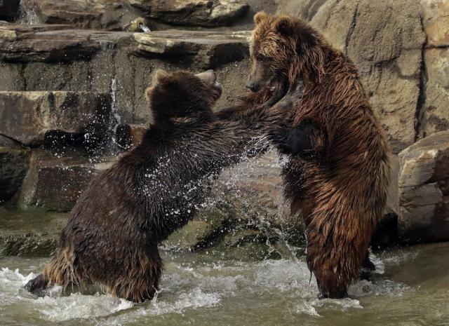FILE - In this Thursday, Jan. 17, 2019, file photo, bears frolic at the Oakland Zoo in Oakland, Calif. The Oakland Zoo zoo is vaccinating its large cats, bears and ferrets against the coronavirus using an experimental vaccine being donated to zoos, sanctuaries and conservatories across the country. (AP Photo/Ben Margot, File)