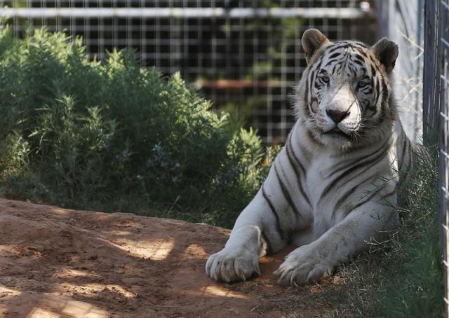 FILE - In this Wednesday, Aug. 28, 2013, file photo, one of the tigers living at the Greater Wynnewood Exotic Animal Park is pictured at the park in Wynnewood, Okla. The animals were moved to a different zoo called, Tiger King-Zoo in Thackerville, Okla. Federal authorities have seized 68 big cats from Netflix's