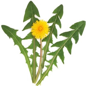 Image result for dandelion leaf