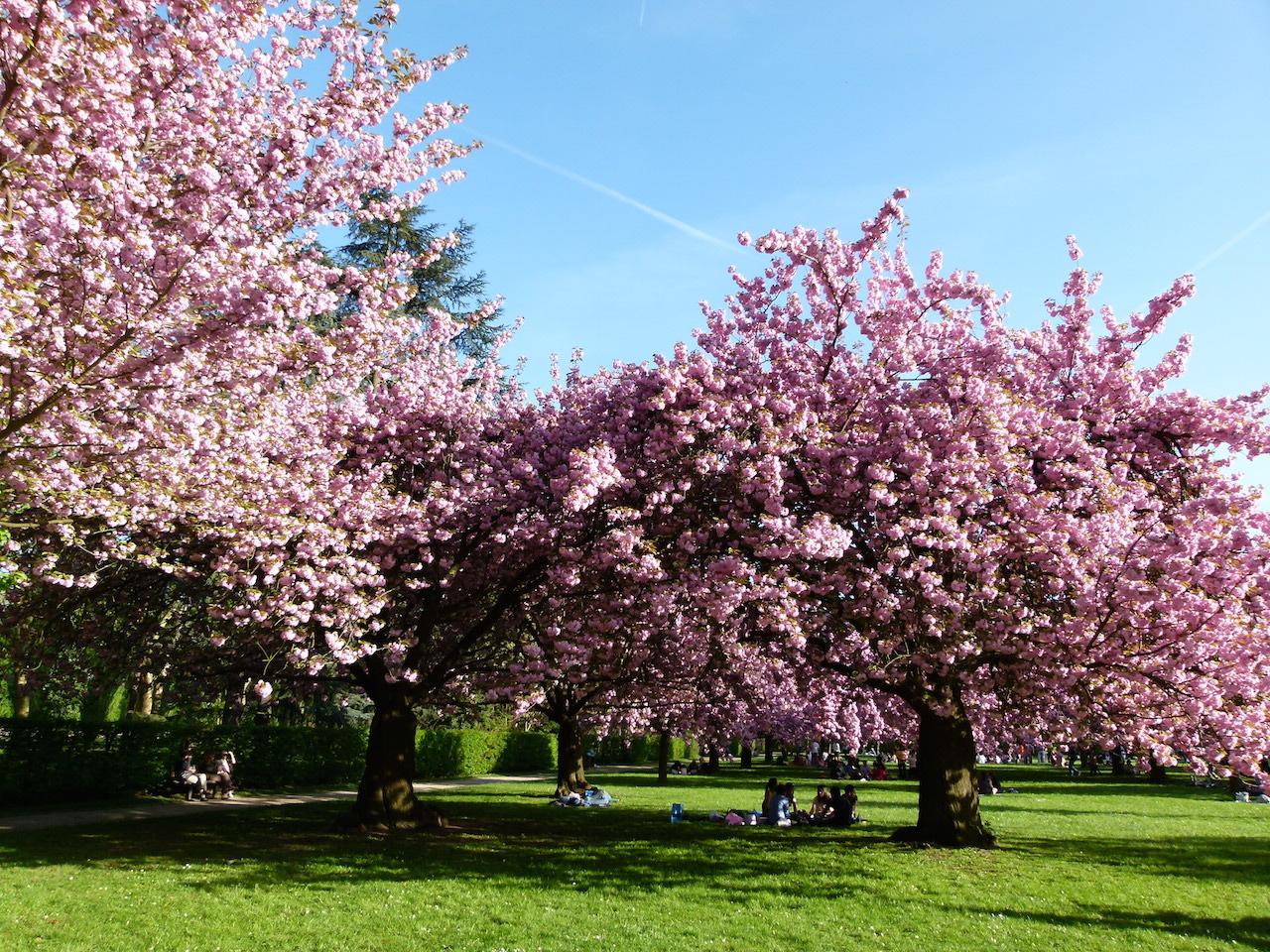diagram the parts of cherry blossom tree tow wiring a lombre des cerisiers en fleurs