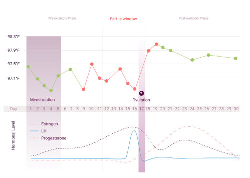 small resolution of how does the menstrual cycle work