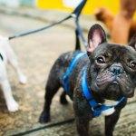 Best French Bulldog Food Pet Circle