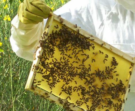telaini di miele