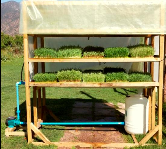 Forraje hidropónico, una opción para la pequeña ganadería