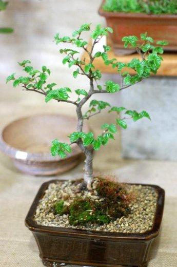 A bonsai Nothofagus gunnii, the last Tasmanian deciduous tree (Photo by David Tng)