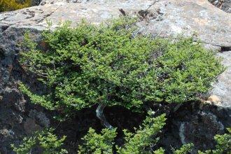 A wild Nothofagus gunnii, the last Tasmanian deciduous tree (Photo by David Tng)
