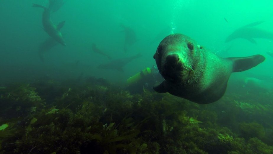 Diving With the Australian Fur Seals at Tenth Island- Photo by Mark Polinski