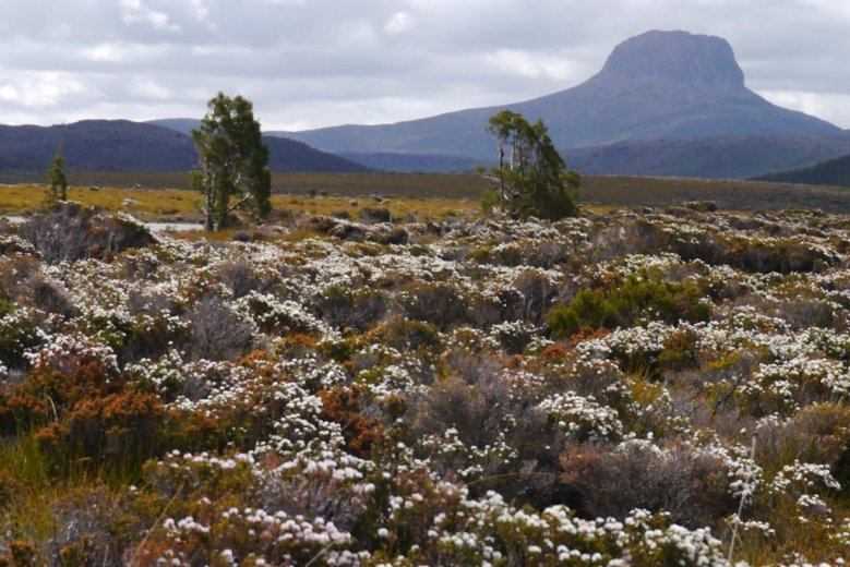 Alpine heathlands, on the Overland Track, Tasmania