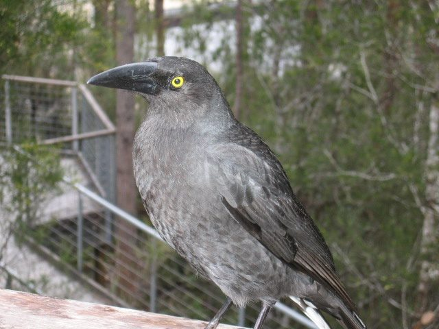 Currawong at the Airwalk, Southern Tasmania