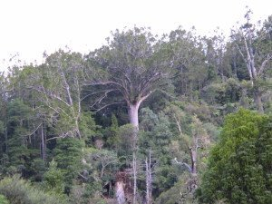 A giant kauri tree stretches out its branches