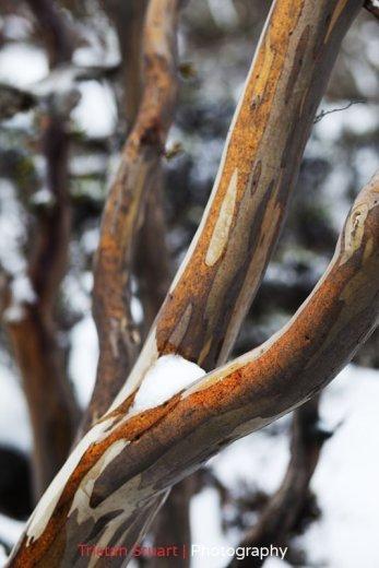 Tasmanian Snowgum by Tristan Stuart
