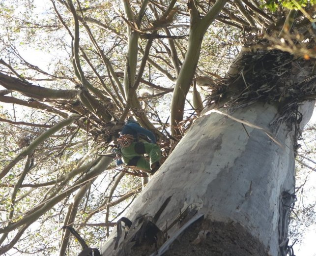 ClimbingTheTallestFloweringTree_byYD BarNess_TasmanianGeographic___2807