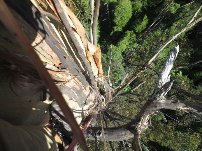 ClimbingTheTallestFloweringTree_byYD BarNess_TasmanianGeographic___2988