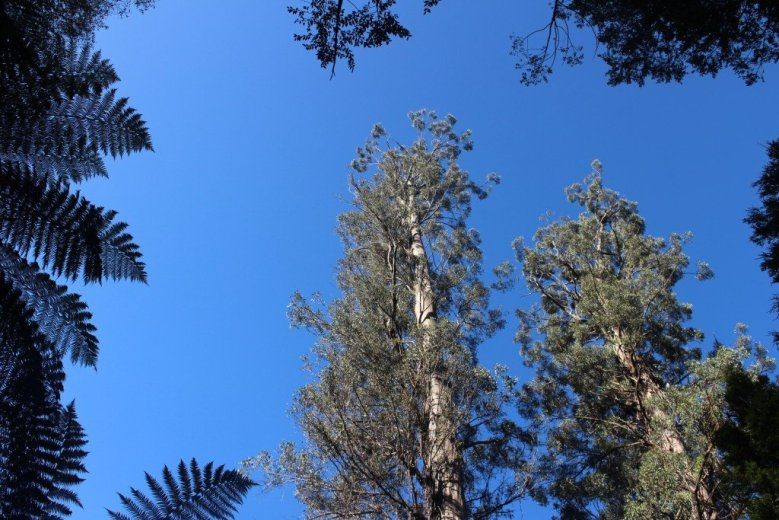 ClimbingTheTallestFloweringTree_byYD BarNess_TasmanianGeographic___3651